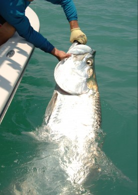 Everglades Big Tarpon