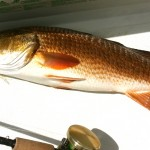 Redfish Everglades Fishing